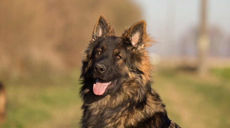 Long-Haired German Shepherd = Long-Haired Problem?