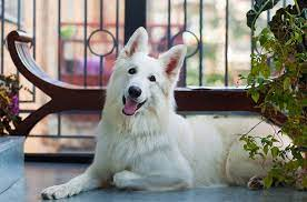 White German Shepherd: Some Facts You Should Know