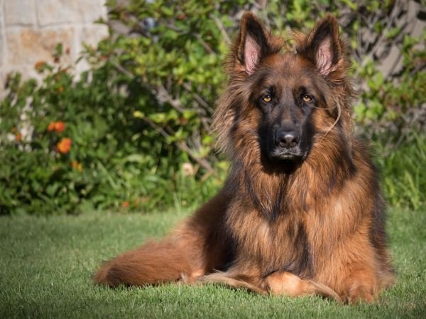 Information About The Plush Coated German Shepherd (Facts And Characteristics)