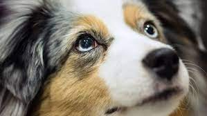 Facts And Information About Australian Shepherd Breeds