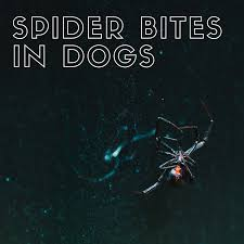 Where Does The Black Widow Spider Bite The Dog?